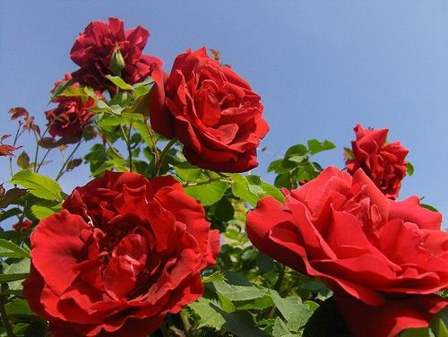 Drawn rose bush rosal Un Pinterest  on 25+