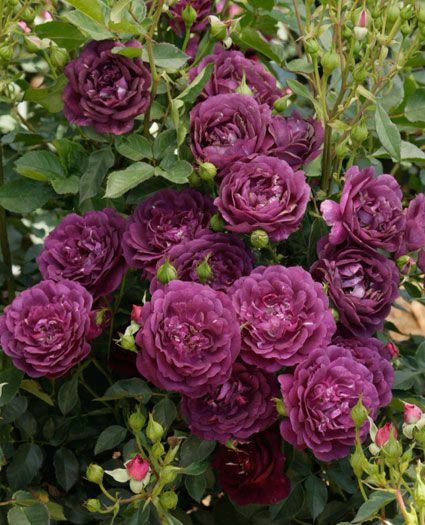 Drawn rose bush rosas Magenta Pinterest Blue Flores images
