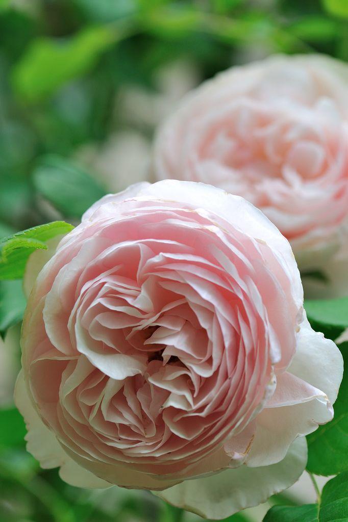 Drawn rose bush rosas On Pinterest / / images