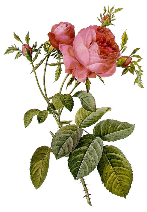 Drawn rose bush rosas Wikipedia centifolia ×  Rosa