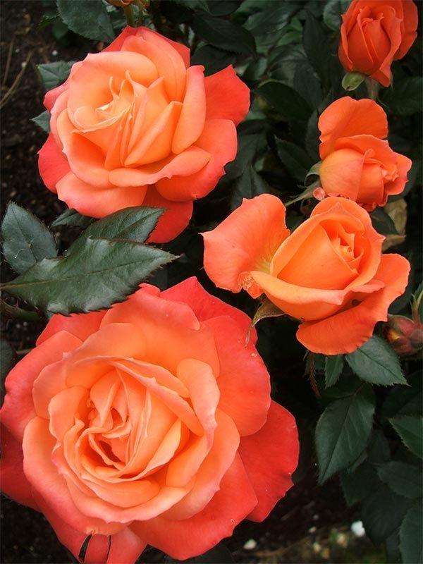 Drawn rose bush rosas Rosas Pinterest best 1738 Rose