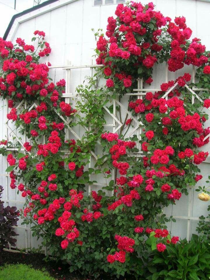 Drawn rose bush rosas Rose Pinterest bush/Climbing Rose best