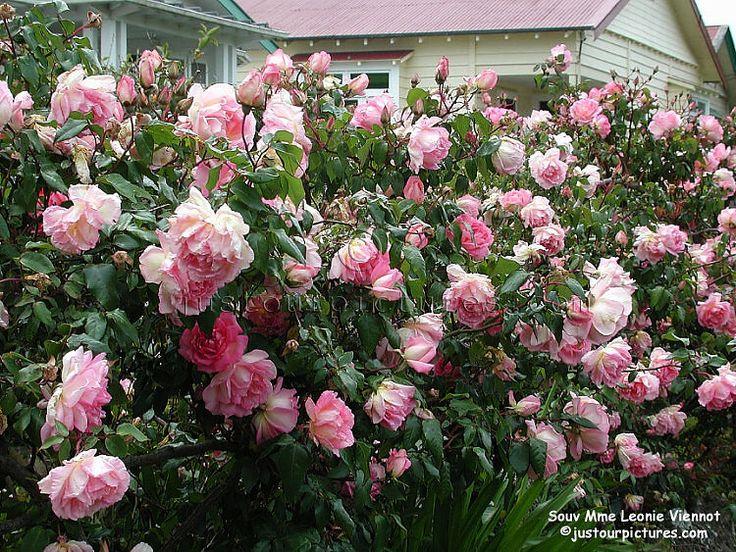 Drawn rose bush rosas On best Rosas Pinterest more