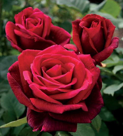 Drawn rose bush rosas Flor intenso la Lincoln: Mr