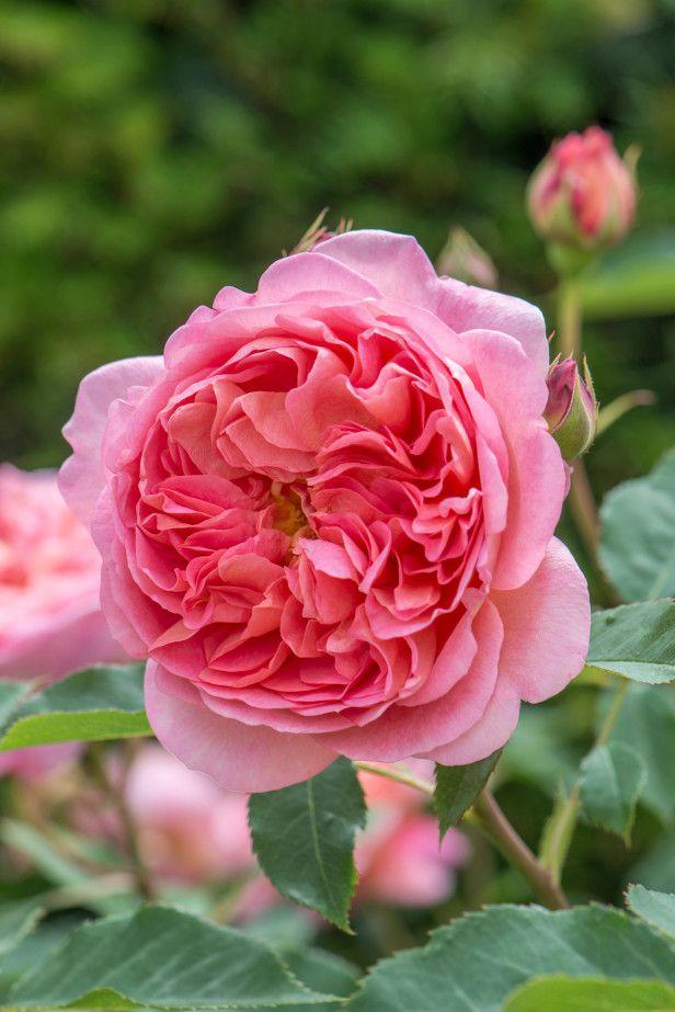 Drawn rose bush rosas Rose Pinterest best 2524 'Boscobel'