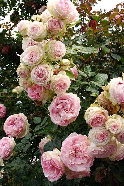 Drawn rose bush rosas On 865 Pinterest best images