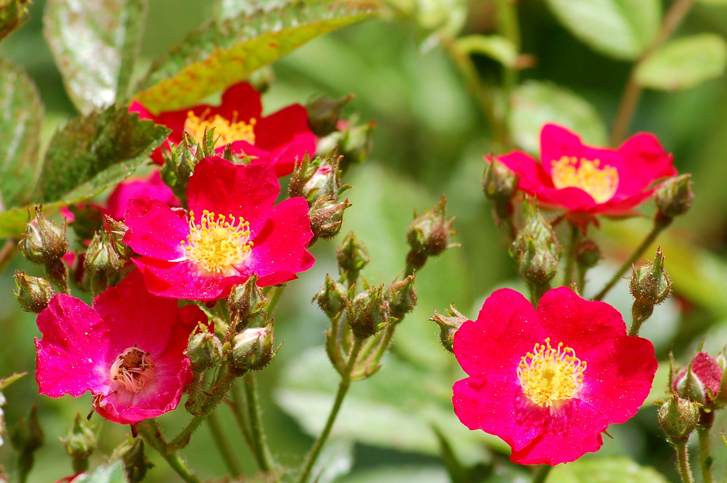 Drawn rose bush rose blossom Late of Rose Best for
