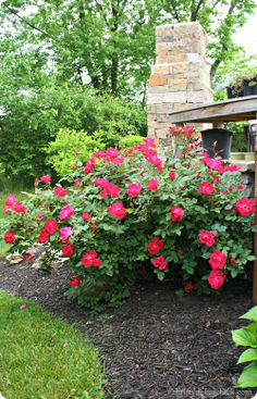 Drawn rose bush rose garden Find M this roses! Red