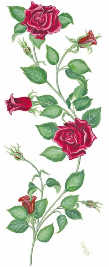 Drawn rose bush antique flower Vines rose with 25+ vines
