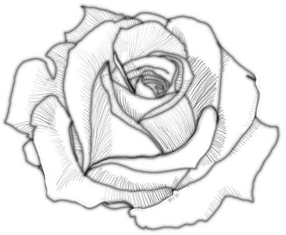 Drawn rose bush shaded De Pinterest 1 de Drawings