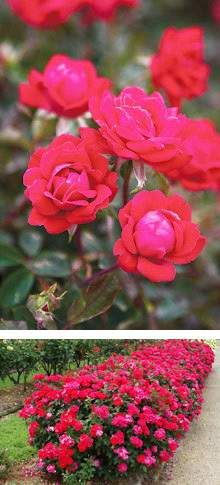 Drawn rose bush super red Pinterest Planting roses Knockout knockout