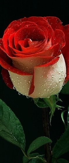 Drawn rose bush super red Rose Rose Care Dew Beauty