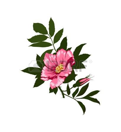 Drawn rose bush wild rose Illustrations Royalty Cliparts clipart 649