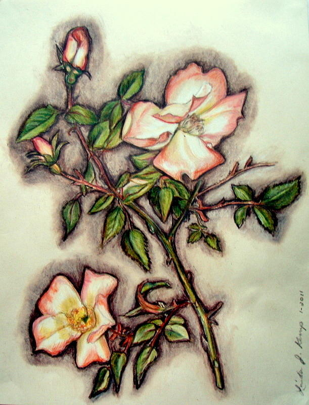 Drawn rose bush wild rose Rose Nielsen by by Nielsen