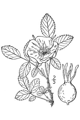 Drawn rose bush wild rose Teaching Gardens & Alberta Indigenous