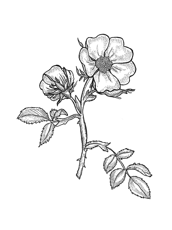 Drawn rose bush wild rose PLANTS#1 Mikowski — rose jpg