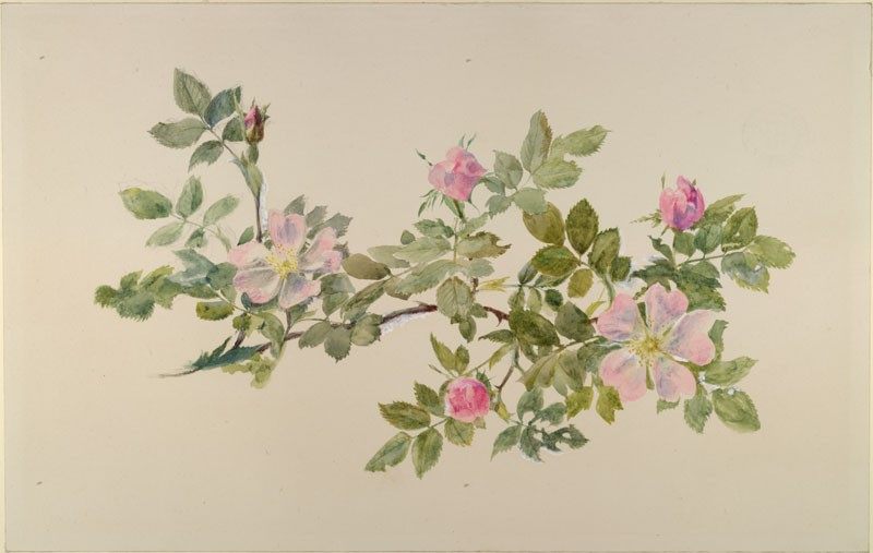 Drawn rose bush wild rose Rose The Ashmolean Ruskin's