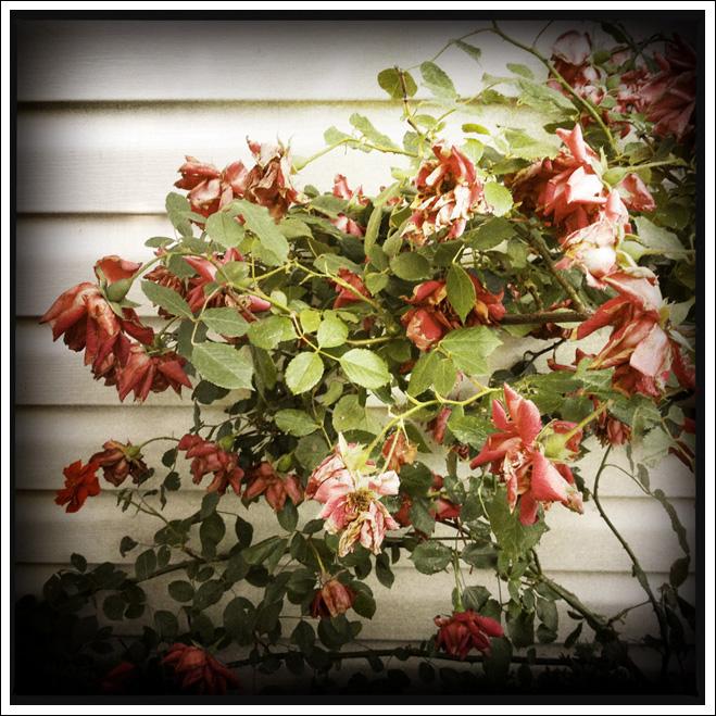 Drawn rose bush wilted flower Bush « DrawSwarD wilted SwarDrawS