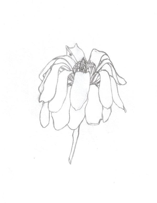Drawn rose bush wilted flower Wilting flower by wilting drawn