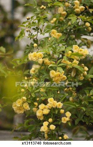 Drawn rose bush yellow rose Rose bästa Search på art
