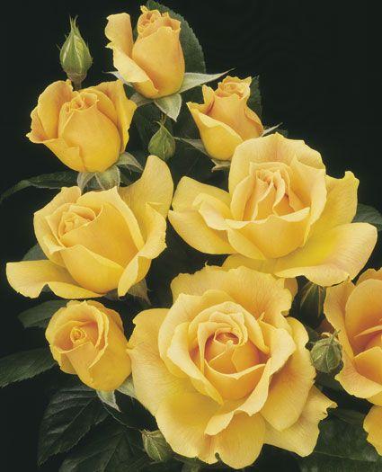 Drawn rose bush yellow rose Going™ Golden Roses bush Rose