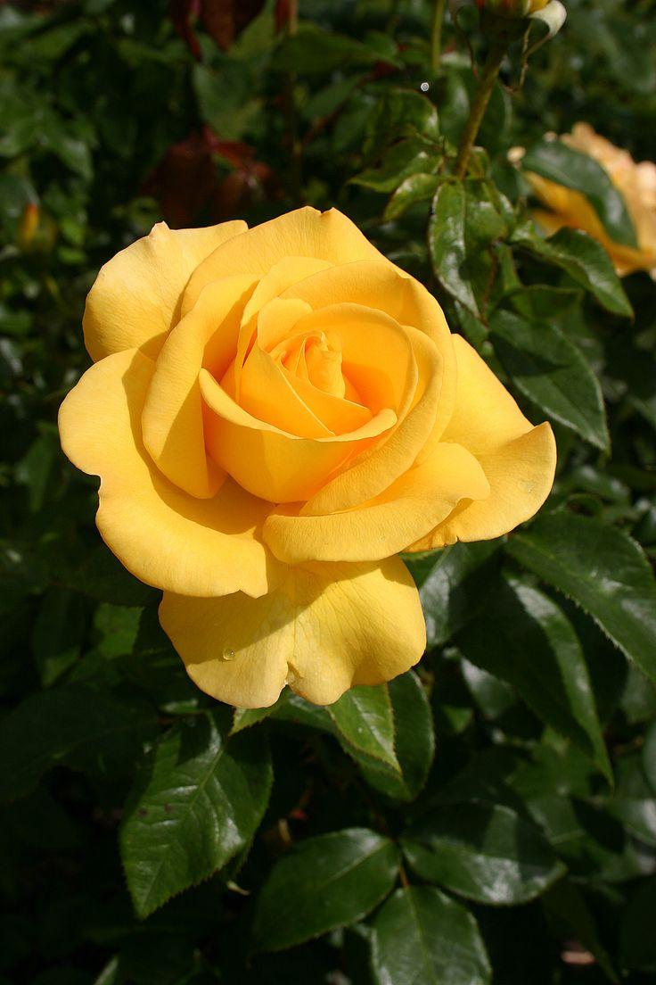 Drawn rose bush yellow rose Smiling' Flickr  Fyers roses