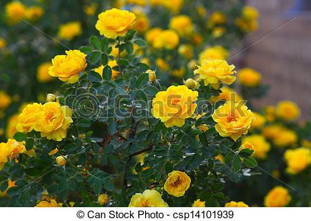 Drawn rose bush yellow rose This Photos flowers bush briar