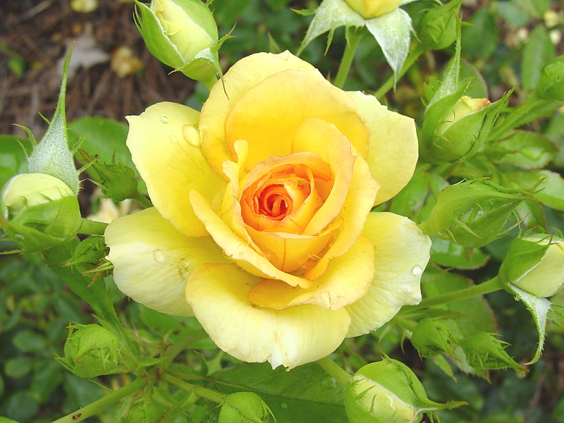 Drawn rose bush yellow rose Kos Daily  ROSES YELLOW