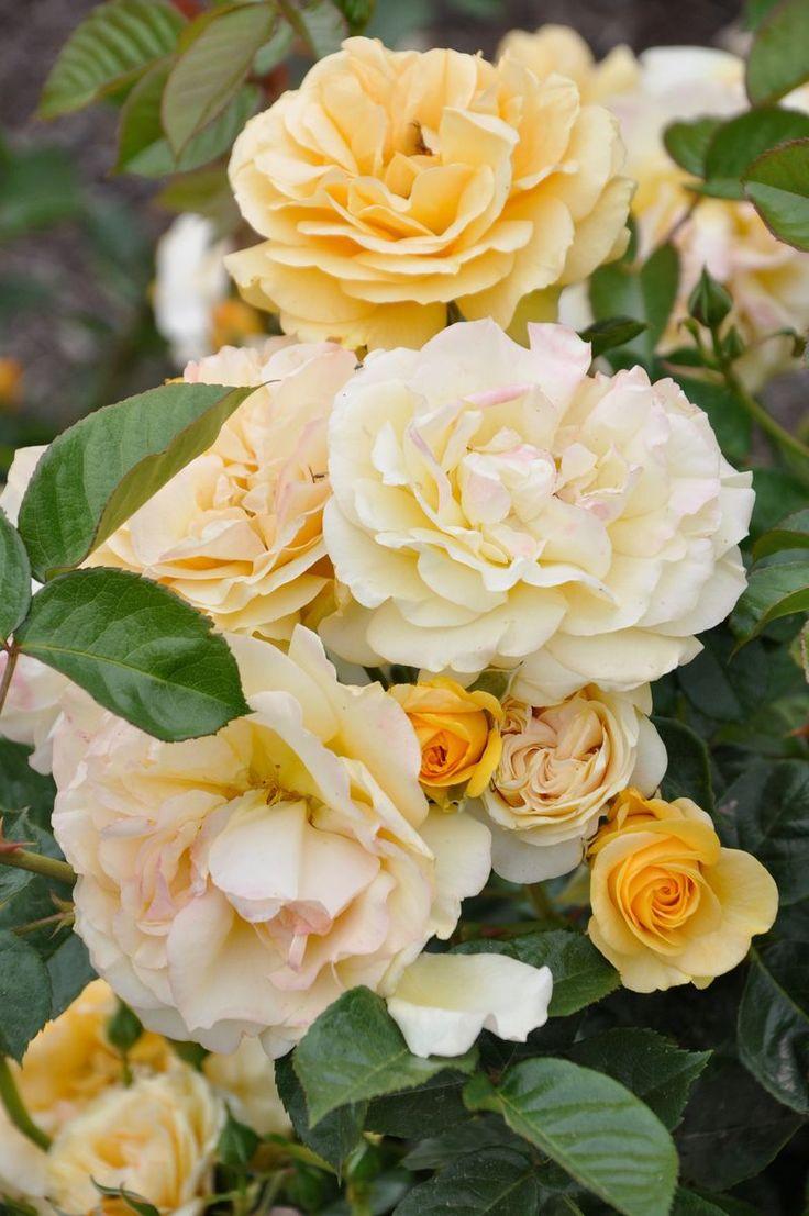 Drawn rose bush yellow rose Peach Pinterest images roses on