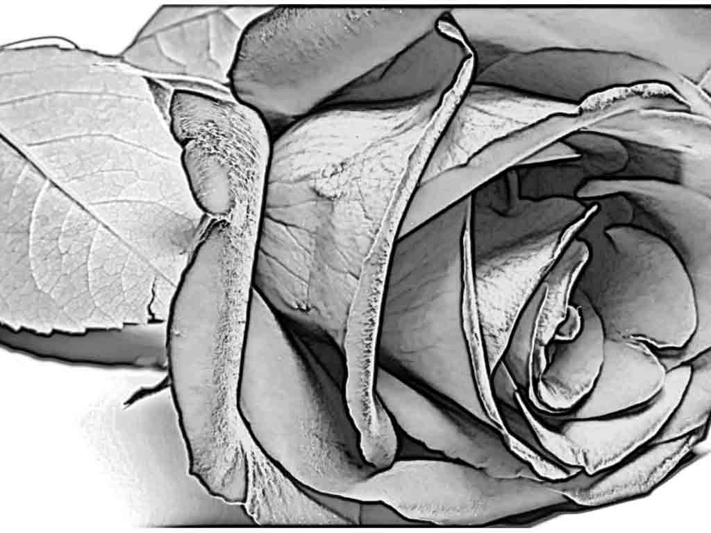 Drawn rose charcoal drawing Lovers Pencil Rose Art Charcoal