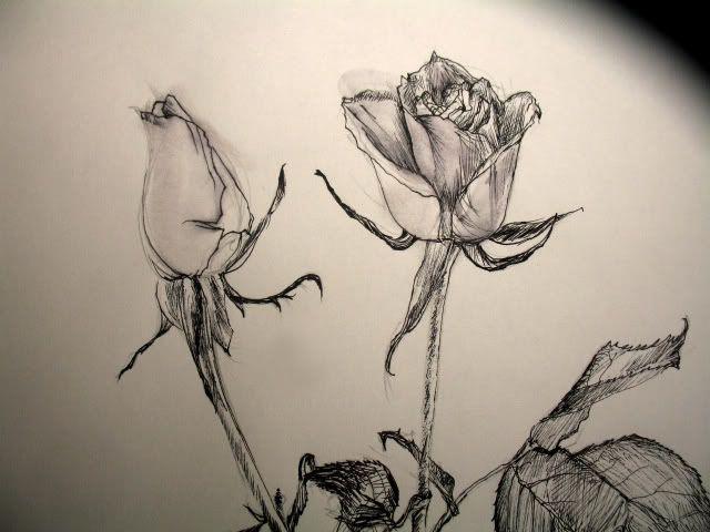 Drawn rose closed Closeup sketch jpg images rose