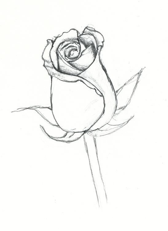 Drawn rose closed On Rose  Art Scenery