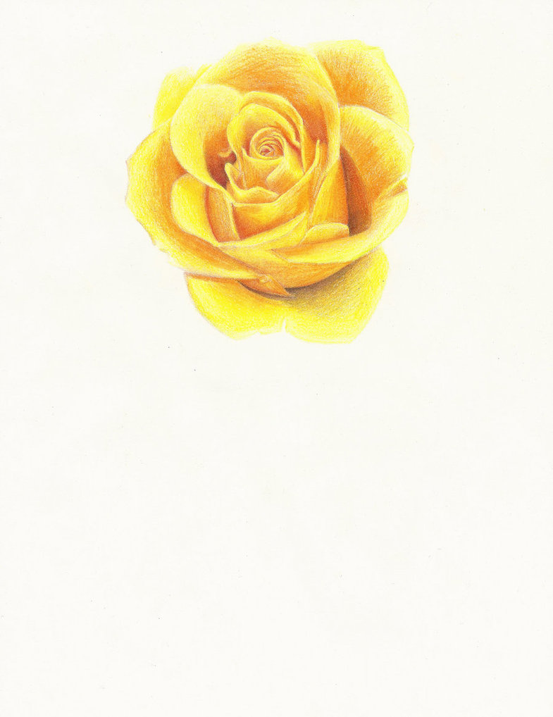 Drawn rose color Colored pencil  rose Color