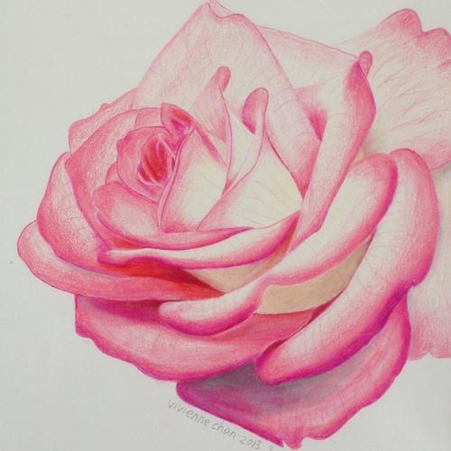 Drawn rose colored pencil Colored of pencil gadbeee gadbeee
