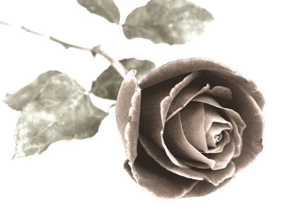 Drawn rose colored pencil To Rose a How Pencil