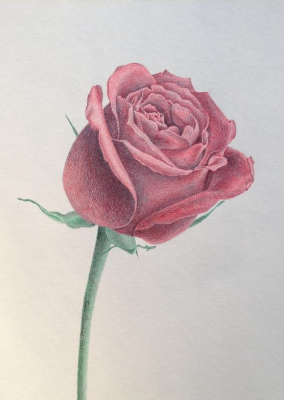 Drawn rose colored pencil Drawing Pencil Colored Rose Drawings