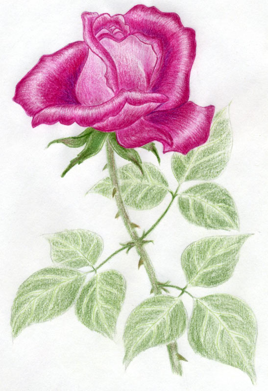 Drawn rose colorful flower Simply a Quickly And