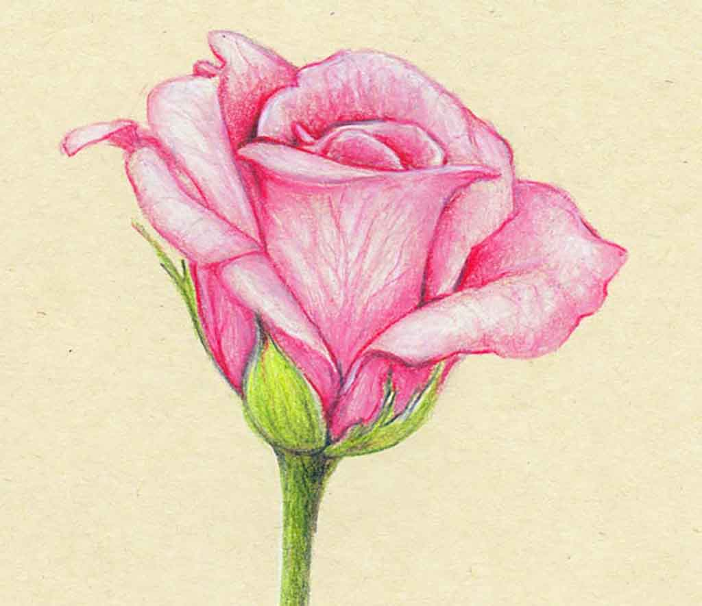 Drawn rose colorful flower Search butterflies of flowers pencil