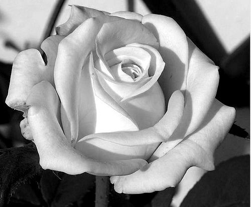 Drawn rose contrast Best How #1 to Drawing