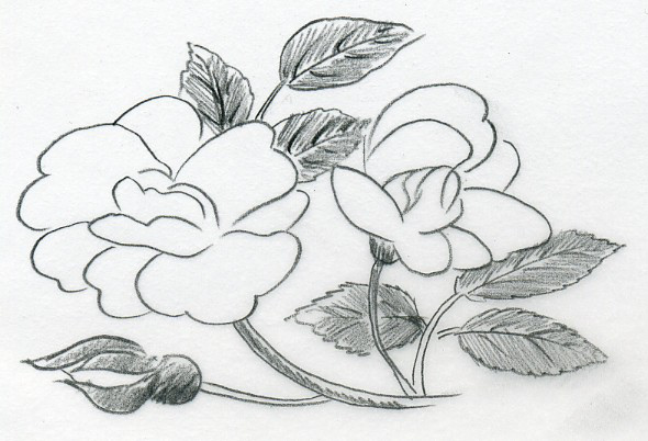 Drawn rose contrast  Sketch Rose Of A