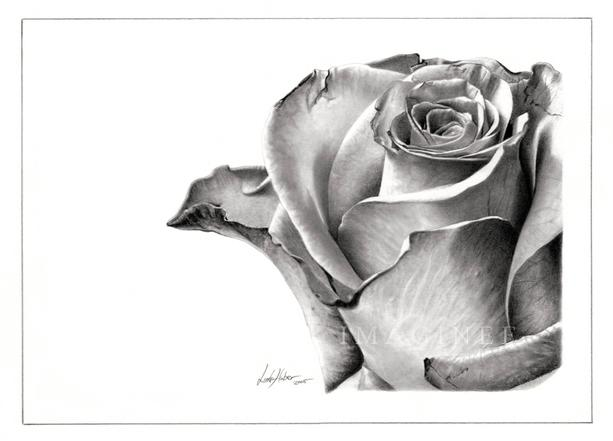 Drawn rose contrast The veins And paper sublte