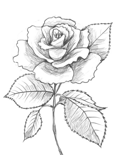 Drawn rose detail drawing On  a looking draw
