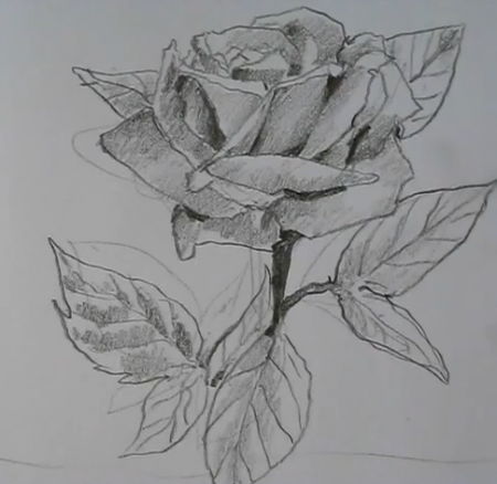 Drawn rose detail drawing  How roses How roses