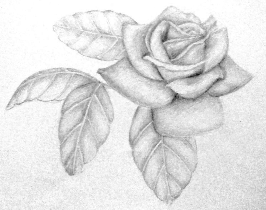 Drawn rose detailed Art Gallery on Free Drawings