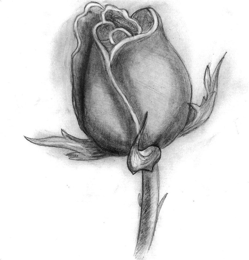 Drawn rose different flower Rose trixsmia on trixsmia by