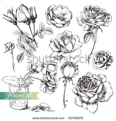 Drawn rose bush detail drawing Vectors and of royalty millions