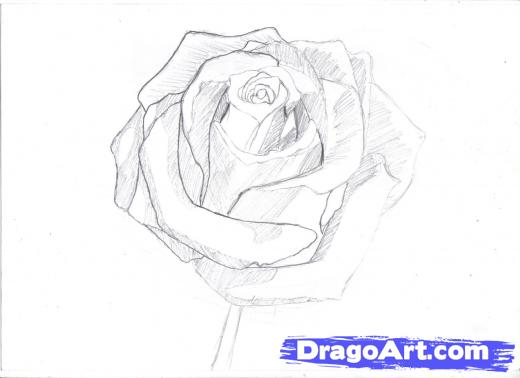 Drawn rose drawing dead In Rose Learn Step Flowers