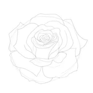 Drawn rose fancy  roses rose a how