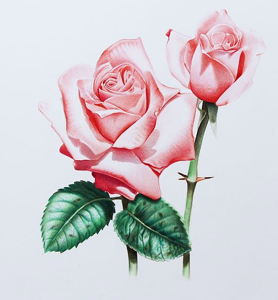 Drawn rose full Inspired Drawings on Realistic 35