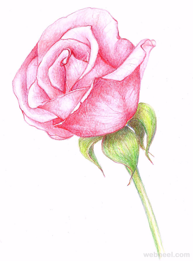 Drawn rose full  and on Find rosa
